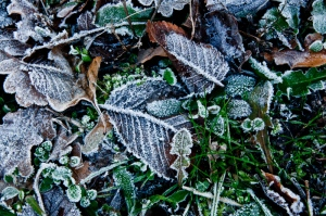 Frozen leaves in the wood - Appennini, Italy 2012