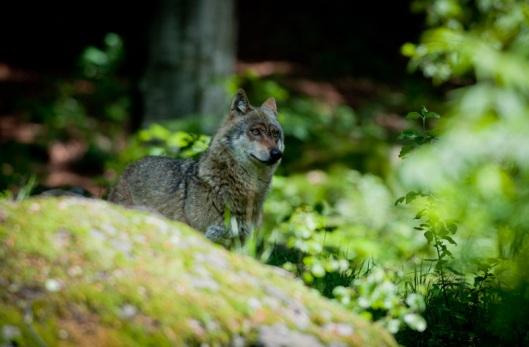 Wolf - Bayerischer National Park, Germany 2010
