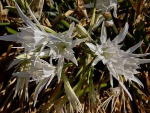 Sand Daffodil, Mediterranean sea