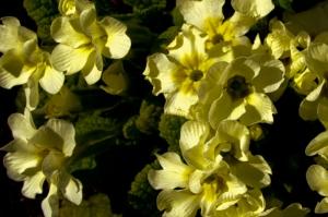Primule - Primroses from my garden