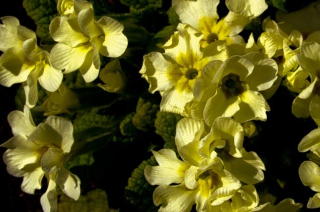 Primule - Primroses in my garden