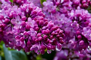Lilacs in my garden