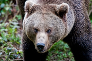She-bear, Bayerischer National Park - Germany