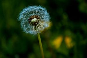 A mature dandelion