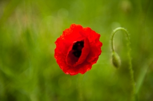 Poppy in the green