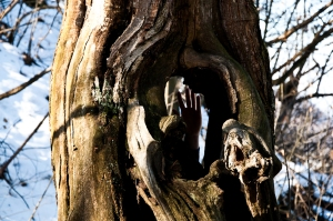 Hollow chestnut tree