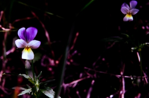 Pansies in the wood - Appennine, Italy