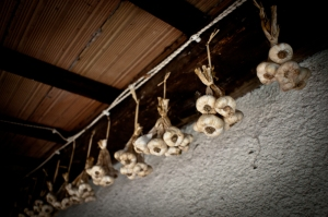 Garlic hanging from the ceiling, Romagna - Italy