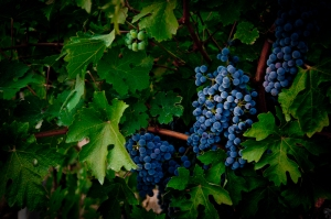 Beautiful grapes in a vineyard, Bologna - Italy
